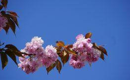 Cerisier japonais, les Délices de Tokyo, Dorian Sukegawa